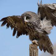 Canadian Raptor Conservancy - Birds in Flight