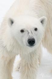 Ice Bear 850-593_ron_clifford.jpg